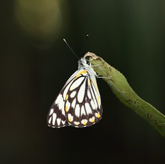 Caper White (Belenois java) (iainrmacaulay) Tags: brisbane australia caper white belenois java