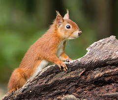 Red Squirrel, Brownsea Island (KHR Images) Tags: red squirrel wild mammal brownseaisland sciurusvulgaris england dorset closeup wildlife nature nikon d7100 kevinrobson khrimages