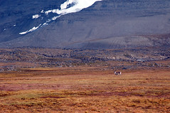 Grazing Reindeer (ExpeditionTrips) Tags: chris arctic svalbard cruise expedition expeditiontrips polar polarbear walrus glacier ice spitsbergen