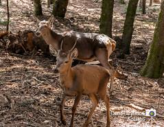 deer family.. (ckollias) Tags: parnitha animal deer nature greece