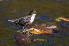 Northern Dipper (Phil D 245) Tags: