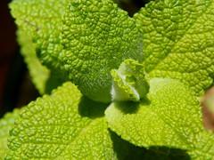 Mint Leaves (jgimbitzki) Tags: nature natureza photo foto mint menta hortelã leaves folhas green verde