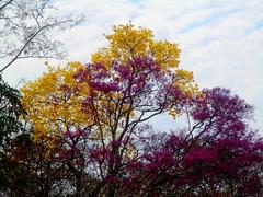 Winter in Chiquitania (magellano) Tags: chiquitania bolivia albero tree fiore flower giallo yellow viola violet natura nature inverno winter