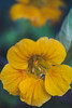 Good vibes (Elena L-v) Tags: tropaeolum nasturtium flower yellow macro