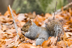 untitled-22.jpg (Andy-Anderson) Tags: sciuridae wildlife nature newjersey animals mammal fall loantakabrook easterngraysquirrel autumn nj sciuruscarolinensis