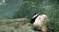 Mei's 2nd best half.  ../zc830.png (heights.18145) Tags: smithsoniansnationalzoo beibei meiziang corner panda bear pandabear cuteanimals bearcubs motheranimals ccncby