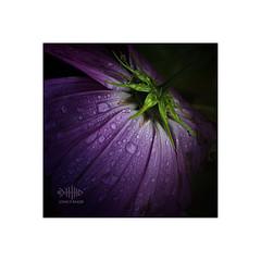 Evening in Autumn (silver/halide) Tags: autumn waterdrops waterdroplets flower cosmos closeup macro sonyalpha a6000 minoltamdrokkor3570mmmacro manualfocus oldglass oldschool evening johnbaker lowlight purple mauve