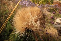 Blowing Away (Mabacam) Tags: 2016 surrey rhs royalhorticulturalsociety wisley wisleygardens garden nature artichoke flowerhead seedhead