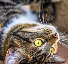 Love me! (kevin dooley) Tags: loveme kitty toph littledoglaughedstories