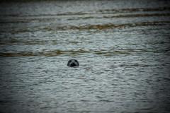 spy (pamelaadam) Tags: thebiggestgroup fotolog digital sea animal seal newburgh forvie visions meetup aberdeenshire scotland june summer 2016