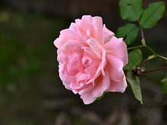 610_0838_2048 (a.marquespics) Tags: bokeh flower rose pink rosa flor plant quintal backyard outono autumn beauty nikon d610 28105mmf3545d explored inexplore extemporneo extemporaneous unseasonable closeup