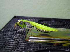 Mantis religiosa (Obsuritas Mortiferus) Tags: mantis religiosa mantid nikon insect macro