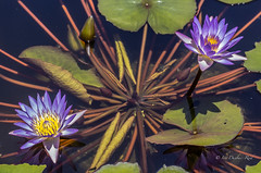 Non-identical twins (idunbarreid - on and off) Tags: waterlilies