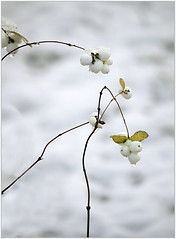 (melolou) Tags: white snow berries