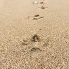 Emu tracks? No. Cape Barren geese.