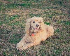 Lady ([ Ryan W. ]) Tags: nikond7100 dogs animal nikon35mm18afsdx nikkor3518 naturallight nattylight outdoors availablelight riversidecounty riverside dogportrait cockerspaniel