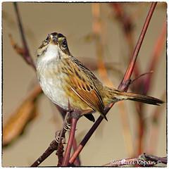 Swamp Sparrow (RKop) Tags: a77mk2 600mmf4apogminolta armlederpark cincinnati ohio raphaelkopanphotography sony