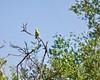Sitruunavästäräkki (ville koponen) Tags: lemon västäräkki vanhankaupunginlahti sitruunavästäräkki