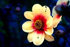Shunshine-Dahlie (novofotoo) Tags: blau blumen botanischergarten dahliahybriden dahlie flowers gelb natur reise rot sommer blue botanicalgarden red summer vellow