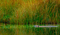 timbryan-5 (Paso Robles Photo Guild) Tags: beaver grandtetonnationalpark mountains timbryan animals landscape reflection wildlife