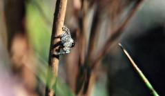 Spider on the side (TJ Gehling) Tags: archnida araneae salticidae jumpingspider phidippus raingarden bioswale ohlonegreenway elcerritoplaza elcerrito arachnida