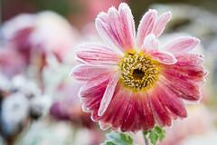Friday's Flower Power (MR@tter) Tags: blumen natur flower flowers frost freezing dof