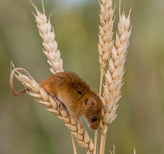 JWL4605 Harvest Mouse.. (jefflack Wildlife&Nature) Tags: harvestmouse mouse mice rodent animal animals mammal wildlife woodlands farmland forest meadows moorland countryside nature ngc npc coth5