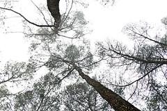 IMG_8329 (Juan Manuel Sanchez) Tags: otoo adrianospicture juanmanuelsanchez hojas arce rojo niebla fog campo montaa madrid espaa canon d60 naturaleza maana cielo silueta contraluz cesped hierba bosque norte
