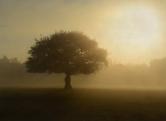 ♠ (Photography by Ali Roberts) Tags: oak tree mist light sun warmth texture