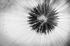 The center of all (Robert Krner) Tags: dandelion lwenzahn bw sw macro makro