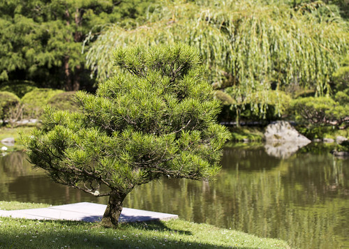 Pine tree in Jap Garden