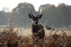 Young stag 2 (Daymon55) Tags: morning sunrise stag deer