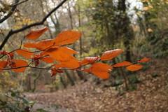 IMG_8910 (Geoff_B) Tags: badockswood bristol walkinthewoods autumn november unprocessed unedited