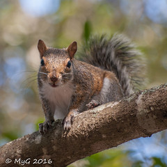 You got some nuts for me ? (Mike Y. Gyver) Tags: squirrel cureuil wildlife wild tree bokeh d90 dof depthoffield florida fun cute nikkor afsvrzoomnikkor70300mmf4556gifed portrait autofocus ngc