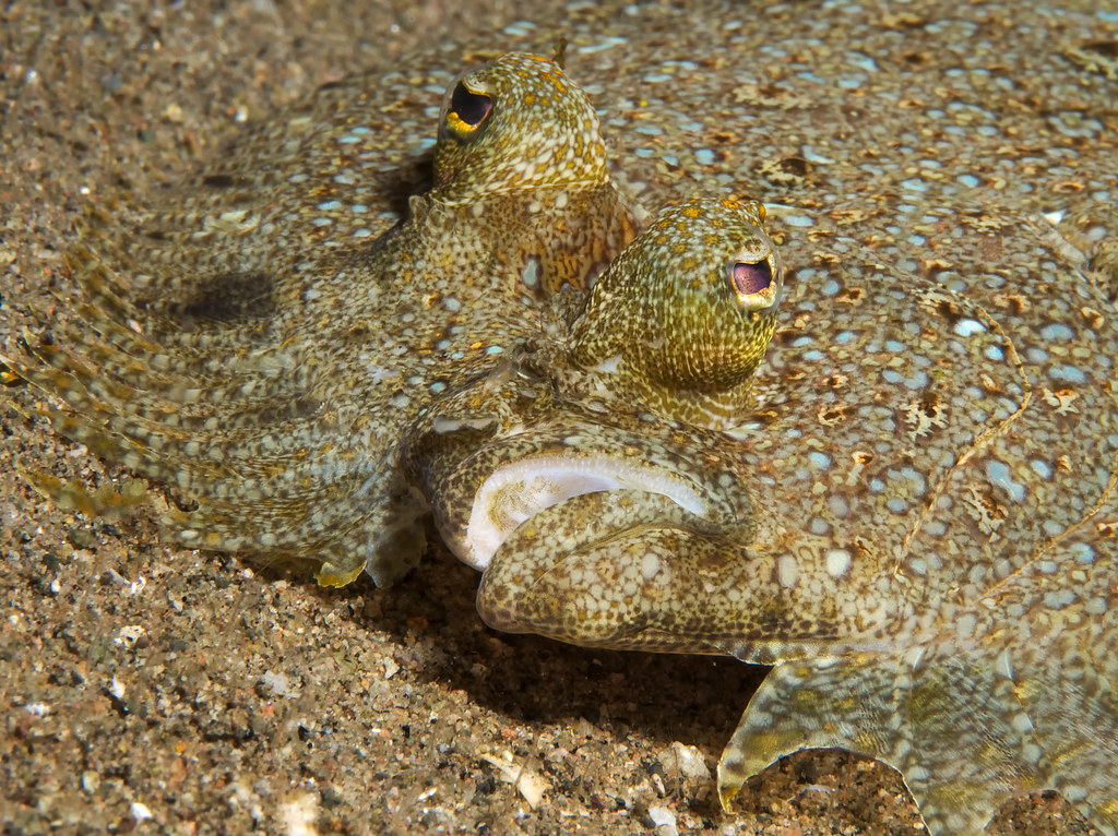 The world 39 s best photos of flounder and underwater for Picture of a flounder fish