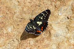 Chlosyne erodyle (Guatemalan Patch) (K. Zyskowski and Y. Bereshpolova) Tags: mexico butterfly nymphalidae nymphalinae chlosyne erodyle checkerspot guatemalan patch