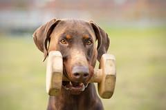 607A5906-bewerkt (Bianca Schouten) Tags: doberman dobermann dogs dog