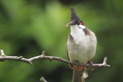 Red Whiskered Bulbul (charliejb) Tags: 2016 paradisepark cornwall hayle redwhiskeredbulbul bulbul bird avian feathers feathered beak
