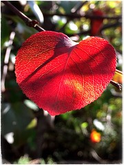Love (Ruth Nicholas) Tags: fallleaf bright vibrantred sunlit backlit sunshine macro depthoffield heartshapeleaf love romance richcolors