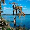 Simple Cypress (redhorse5.0) Tags: cypresstree florida lake water plants trees bluesky redhorse50 sonya850 moss spanishmoss dunnelleyflorida