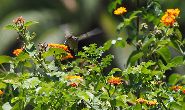 Hummingbird_at_Geek_Hill_2013-1301