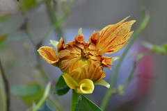 Beautiful (and it ain't done yet) (Tobyotter) Tags: flower flora flowerbud virginiawildflower