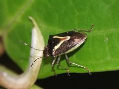 Sheild bug (Dis da fi we) Tags: stinkbugs shieldbugs puntagorda toledodistrict belize toledo hickateebelize hickateepuntagorda jungle rainforest forest wildlife culture cottages hickatee