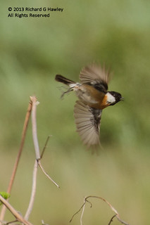 Stonechat (Saxicola torquata) - Series of 5 pictures