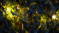 vine leaves (Mr.Zenma) Tags: leaves vine beleuchtet weinltter