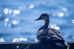 Duck (Takashi(aes256)) Tags: bird duck  showakinenpark  wildbird    nikond4 kenkomirrorlens800mmf8dx
