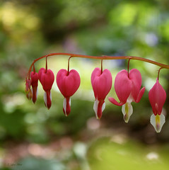 String of Hearts (Lisa.Hunt) Tags: pink flowers macro hearts bush heart australia victoria bleeding heartshaped dicentra