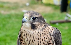Kestrel,taken at the Marymass festival irvine moor (Time Out Images) Tags: festival scotland north irvine ayrshire marymass