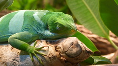 """Lazy Lizard • <a style=""""font-size:0.8em;"""" href=""""http://www.flickr.com/photos/77994446@N03/9642887952/"""" target=""""_blank"""">View on Flickr</a>"""