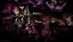 Beyond salvation II (thierry.ysebaert) Tags: pink autumn roses flower detail nature colors rose closeup flora nikon erotic colours artistic antique decay redrose roos passion romantic antwerp drama rozen thierry darkart erotique fallingapart deterioration dyingrose deadrose deadroses vervallen passionphotography dyingroses doderoos macro105mm ysebaert thierryysebaert rozenfotos flowerindecay bestflowerphotography clairobscuro vervallenrozen roseindeterioration roosinverval wwwcometoysebaert rozenfotografie rozenfoto rozeninverval decayedroses rosesindecay